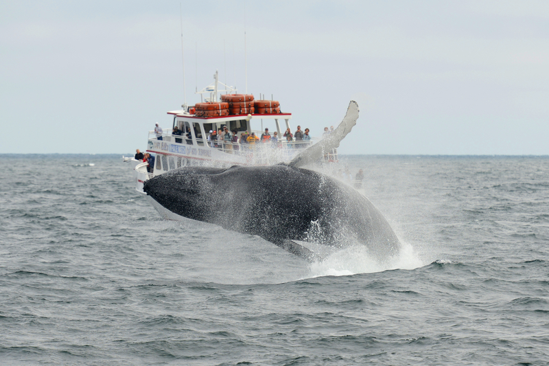 Cape Cod Massachusetts Whale Watching